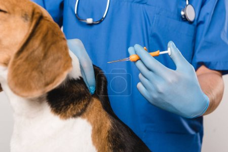 Photo for Close up of veterinarian in blue coat holding syringe for microchipping beagle dog - Royalty Free Image
