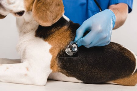 Photo for Cropped view of veterinarian examining beagle dog with stethoscope - Royalty Free Image