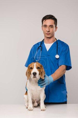 Tierarzt mit Stethoskop hält Beagle-Hund in der Hand und blickt isoliert auf graue Kamera