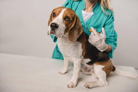 Ausgeschnittene Ansicht einer Tierärztin mit Spritze für mikrochippenden Beagle-Hund auf grauem Hintergrund