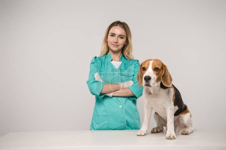 female veterinarian standing with crossed arms near beagle dog on grey background