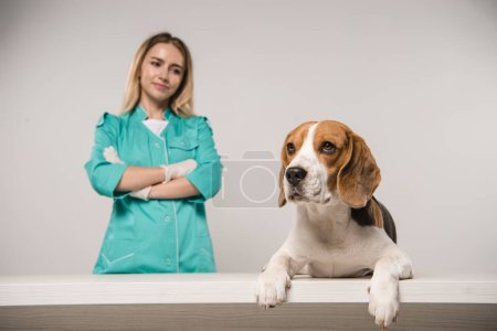 selective focus of beagle dog near female veterinarian with crossed arms on grey background