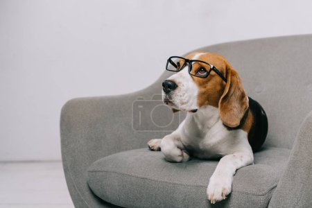 beagle dog lying in glasses in armchair on grey background