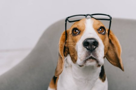 Photo for Cute beagle dog wearing glasses isolated on grey - Royalty Free Image