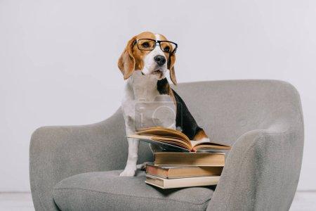Photo pour Chien beagle mignon en fauteuil avec des livres sur fond gris - image libre de droit