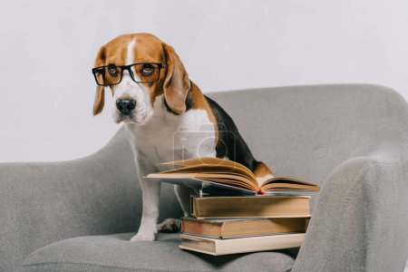 selective focus of cute beagle in glasses sitting in armchair near books isolated on grey