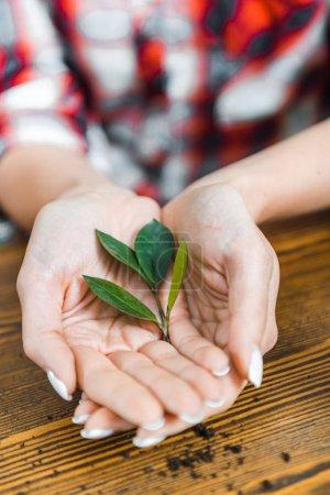 Photo pour Vue recadrée des feuilles vertes dans les mains de la femme - image libre de droit