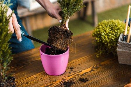 Photo pour Vue recadrée de femme tenant pelle et le repiquage des plantes en pot - image libre de droit