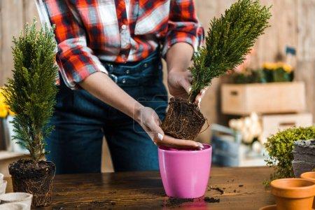 Photo pour Recadrée vue de femme repiquage des plantes vertes en pot - image libre de droit