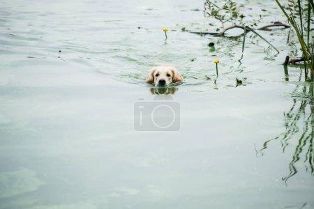 Photo for Golden retriever dog enjoying swimming in park pond - Royalty Free Image