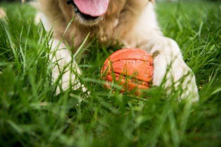 Photo for Partial view of golden retriever dog lying with rubber ball on green lawn - Royalty Free Image