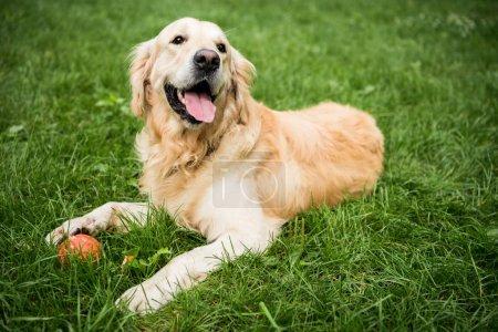 Photo pour Adorable chien golden retriever couché sur la pelouse verte dans le parc - image libre de droit