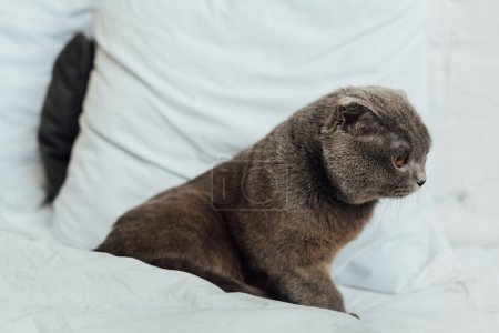 Photo for Grey scottish fold cat sitting in bed at home - Royalty Free Image