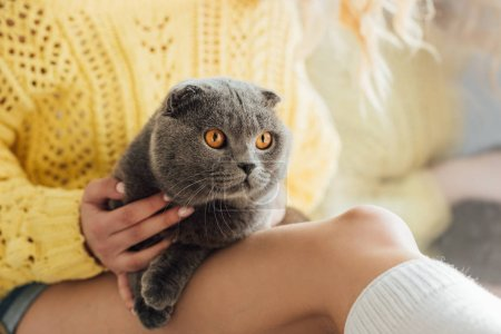 Photo for Cropped view of young woman in knitted sweater holding cute scottish fold cat at home - Royalty Free Image