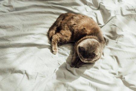 Photo pour Vue de dessus de chat de pli écossais se trouvant dans le bâti avec l'espace de copie - image libre de droit