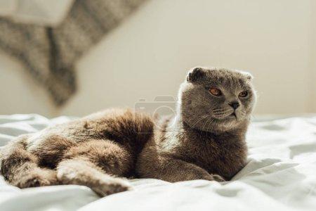 Photo pour Foyer sélectif de mignon chat écossais gris pliant couché dans le lit à la maison - image libre de droit