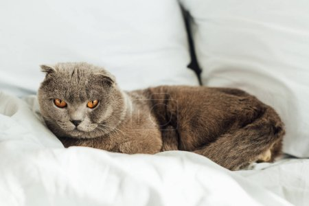 Photo pour Foyer sélectif de chat pliant écossais mignon regardant la caméra et couché dans le lit à la maison - image libre de droit