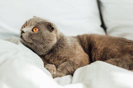 Photo pour Foyer sélectif de mignon écossais plier chat couché dans le lit à la maison - image libre de droit