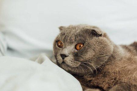 Photo pour Adorable chat écossais gris couché dans le lit à la maison - image libre de droit