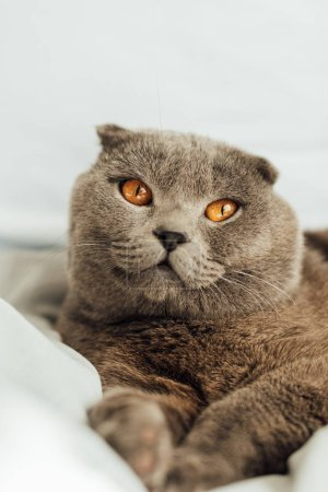 Photo pour Foyer sélectif de chat écossais gris adorable couché dans le lit et regardant loin - image libre de droit