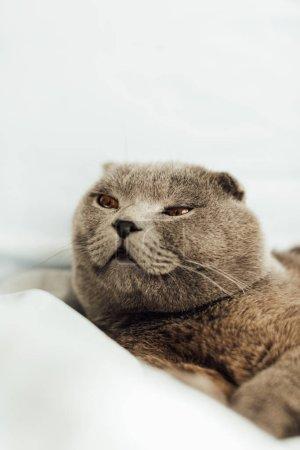 Photo pour Foyer sélectif de mignon chat écossais gris pliant couché dans le lit et regardant loin - image libre de droit