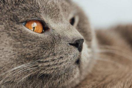 Photo pour Vue partielle de l'adorable chat écossais pli regardant loin - image libre de droit