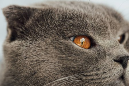 cropped view of adorable scottish fold cat looking away