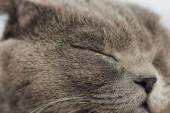 """Постер, картина, фотообои """"обрезанный вид очаровательны шотландский Сложите кошку с закрытыми глазами"""""""