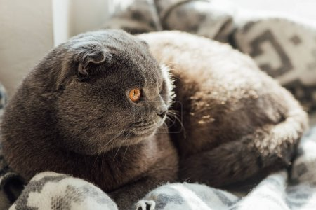 selective focus of cute scottish fold cat with blanket lying in bed at home