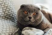 """Постер, картина, фотообои """"очаровательны шотландский Сложите кошку с одеялом лежал в постели у себя дома"""""""