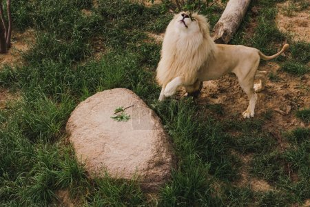high angle view of lion with head up standing on grass at zoo