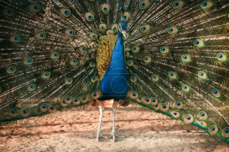 closeup image of peacock showing feathers at zoo