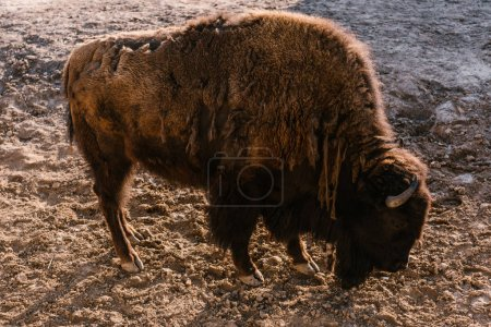 side view of bison grazing on ground at zoo