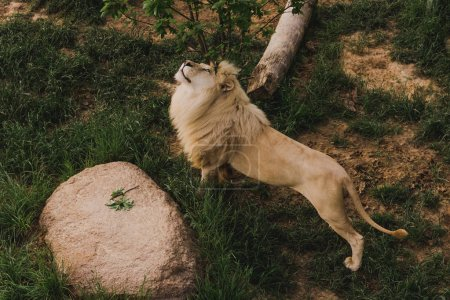 high angle view of beautiful lion stretching on grassy ground at zoo
