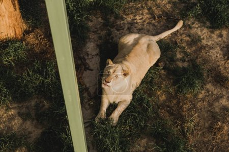 high angle view of lioness laying on grass and looking at camera at zoo