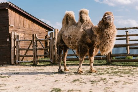 close up shot of two humped camel standing in corral at zoo