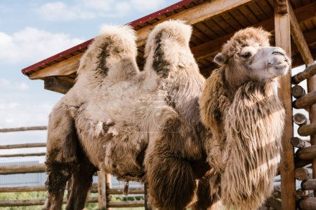 closeup view of two humped camel standing in corral at zoo