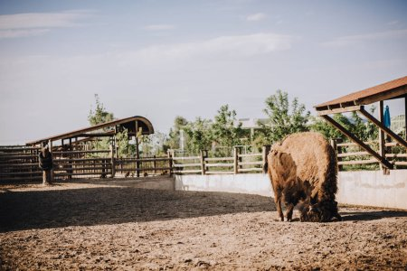 front view of bison in corral at zoo