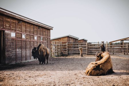 front view of two bisons in corral at zoo