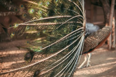 Photo for Close up image of peacock beautiful colorful feathers - Royalty Free Image