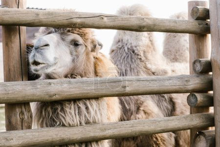 close up shot of two humped camel standing near wooden fence in corral at zoo