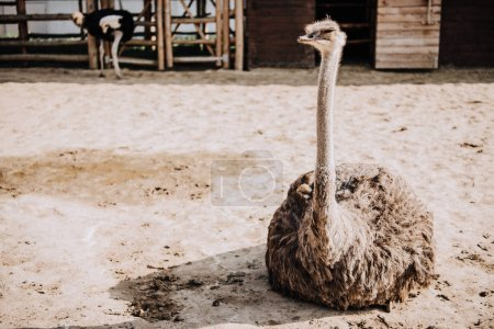 close up shot of ostrich sitting on ground in corral at zoo