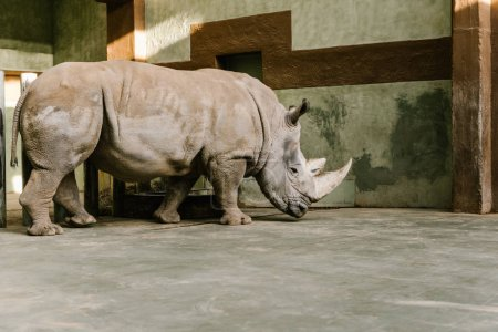 side view of endangered white rhino at zoo