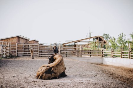 front view of bison laying on ground in corral at zoo