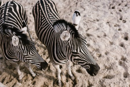 high angle view of two zebras grazing on ground at zoo