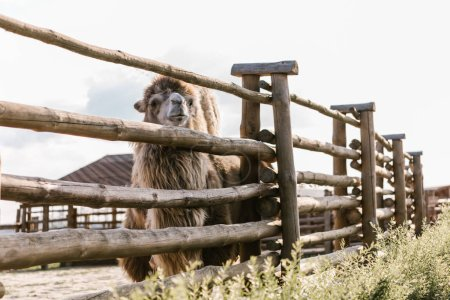 front view of camel standing near wooden fence in corral at zoo