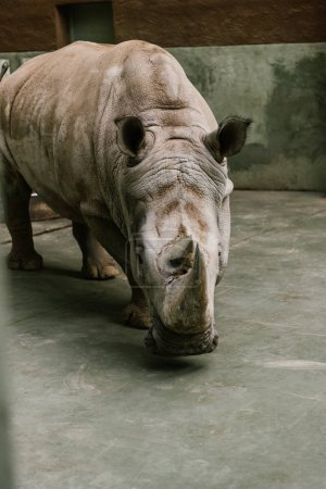 closeup shot of endangered white rhino at zoo