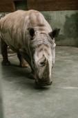 closeup shot of endangered white rhino at zoo