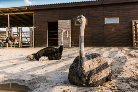 close up image of ostriches sitting on ground in corral at zoo