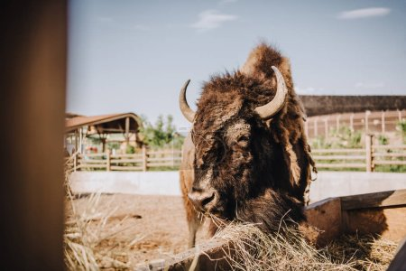 close up view of bison eating dry grass in corral at zoo